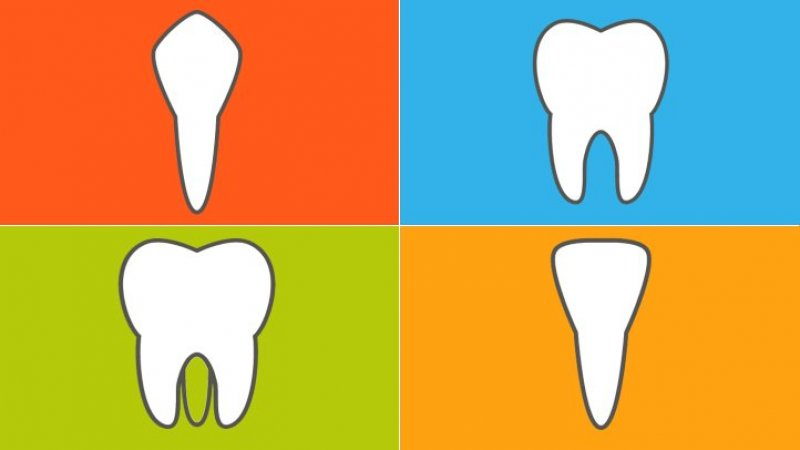 Types of Teeth and How They Function